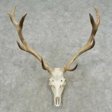 Rocky Mountain Elk Skull European Mount For Sale #16727 @ The Taxidermy Store