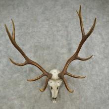 Rocky Mountain Elk Skull European Mount For Sale #16904 @ The Taxidermy Store