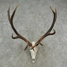 Rocky Mountain Elk Skull European Mount For Sale #16950 @ The Taxidermy Store
