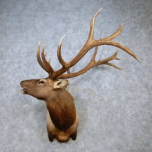 Rocky Mountain Elk Shoulder Mount For Sale #14469 @ The Taxidermy Store