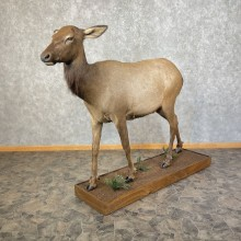 Rocky Mountain Cow Elk Taxidermy Life-Size Mount For Sale