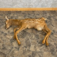 Rocky Mountain Elk Fawn Movie Prop For Sale