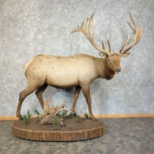 Rocky Mountain Elk Taxidermy Life-Size Mount For Sale