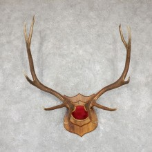 Rocky Mountain Elk Plaque Mount For Sale #19504 @ The Taxidermy Store