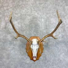 Rocky Mountain Elk Plaque Mount For Sale #22731 @ The Taxidermy Store