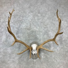 Rocky Mountain Elk Plaque Mount For Sale #23294 @ The Taxidermy Store