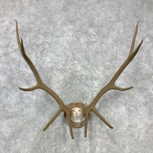 Rocky Mountain Elk Plaque Mount For Sale #23295 @ The Taxidermy Store
