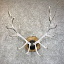 Rocky Mountain Elk Plaque Mount For Sale #24591 @ The Taxidermy Store