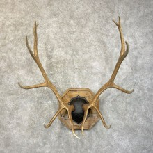 Rocky Mountain Elk Plaque Mount For Sale #24606 @ The Taxidermy Store