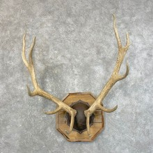 Rocky Mountain Elk Plaque Mount For Sale #24634 @ The Taxidermy Store