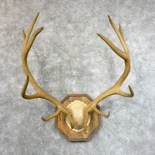 Rocky Mountain Elk Plaque Mount For Sale #24636 @ The Taxidermy Store
