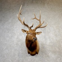 Rocky Mountain Elk Shoulder Mount For Sale #19163 @ The Taxidermy Store