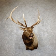 Rocky Mountain Elk Shoulder Mount For Sale #19451 @ The Taxidermy Store