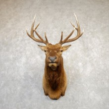Rocky Mountain Elk Shoulder Mount For Sale #20287 @ The Taxidermy Store
