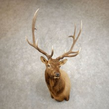 Rocky Mountain Elk Shoulder Mount For Sale #20508 @ The Taxidermy Store