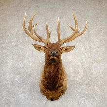 Rocky Mountain Elk Shoulder Mount For Sale #20691 @ The Taxidermy Store