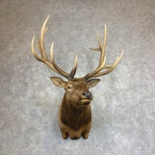 Rocky Mountain Elk Shoulder Mount For Sale #21928 @ The Taxidermy Store