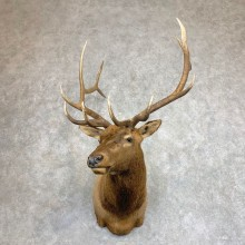 Rocky Mountain Elk Shoulder Mount For Sale #21950 @ The Taxidermy Store
