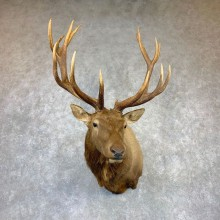 Rocky Mountain Elk Shoulder Mount For Sale #23146 @ The Taxidermy Store