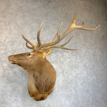 Rocky Mountain Elk Shoulder Mount For Sale #23636 @ The Taxidermy Store