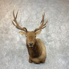 Rocky Mountain Elk Shoulder Mount For Sale #23690 @ The Taxidermy Store
