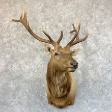 Rocky Mountain Elk Shoulder Mount For Sale #23756 @ The Taxidermy Store
