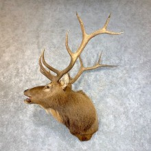 Rocky Mountain Elk Shoulder Mount For Sale #23955 @ The Taxidermy Store