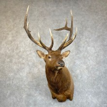 Rocky Mountain Elk Shoulder Mount For Sale #24224 @ The Taxidermy Store