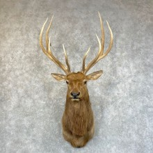 Rocky Mountain Elk Shoulder Mount For Sale #24584 @ The Taxidermy Store