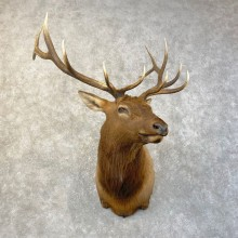 Rocky Mountain Elk Shoulder Mount For Sale #25146 @ The Taxidermy Store