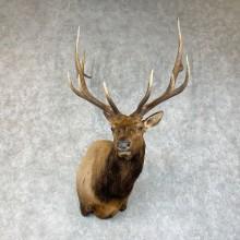 Rocky Mountain Elk Taxidermy Shoulder Mount For Sale