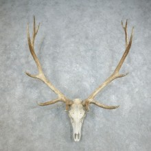 Rocky Mountain Elk Skull European Mount For Sale #18382 @ The Taxidermy Store
