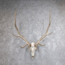 Rocky Mountain Elk Skull European Mount For Sale #18618 @ The Taxidermy Store