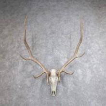 Rocky Mountain Elk Skull European Mount For Sale #18618 @ The Taxidermy Store