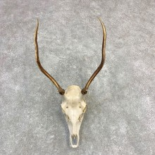 Rocky Mountain Elk Skull European Mount For Sale #21840 @ The Taxidermy Store
