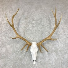 Rocky Mountain Elk Skull European Mount For Sale #23728 @ The Taxidermy Store