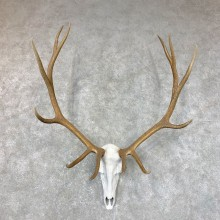 Rocky Mountain Elk Skull European Mount For Sale #23729 @ The Taxidermy Store