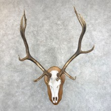 Rocky Mountain Elk Skull European Mount For Sale #24246 @ The Taxidermy Store