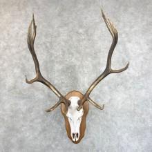 Rocky Mountain Elk Skull European Mount For Sale #24246 @ The Taxidermy Store