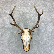 Rocky Mountain Elk Skull Mount For Sale #23583 @ The Taxidermy Store