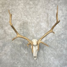 Rocky Mountain Elk Skull Mount For Sale #24623 @ The Taxidermy Store