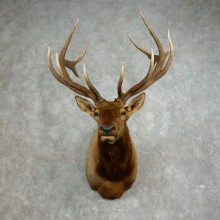 Rocky Mountain Elk Shoulder Mount For Sale #17651 @ The Taxidermy Store
