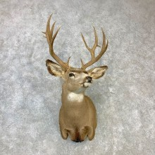 Rocky Mountain Mule Deer Shoulder Mount For Sale #23088 @ The Taxidermy Store