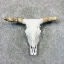 Rodeo Bull Skull European Mount For Sale #24022 @ The Taxidermy Store