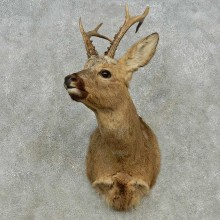 Siberian Roe Deer Shoulder Mount For Sale #14569 @ The Taxidermy Store