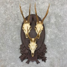 Roe Deer Plaque Mount For Sale #23561 @ The Taxidermy Store