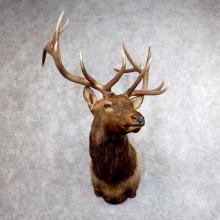 Roosevelt Elk Shoulder Mount For Sale #18608 @ The Taxidermy Store