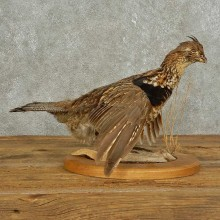 Ruffed Grouse Bird Mount For Sale #15897 @ The Taxidermy Store