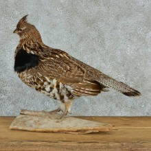Ruffed Grouse Life-Size Taxidermy Mount #13296 For Sale @ The Taxidermy Store