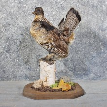 Standing Ruffed Grouse Mount #11720 For Sale @ The Taxidermy Store